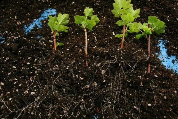 Как размножить красную смородину отводками, черенками