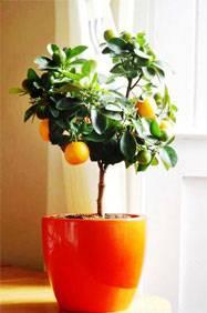 Как вырастить апельсиновое дерево в домашних условиях