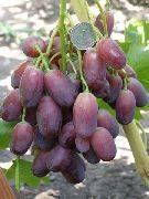 Виноград ягуар описание сорта фото отзывы видео %