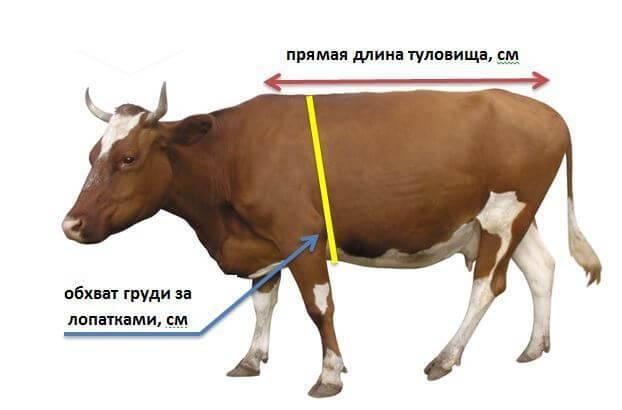Как узнать вес быка без весов: простые способы определения.