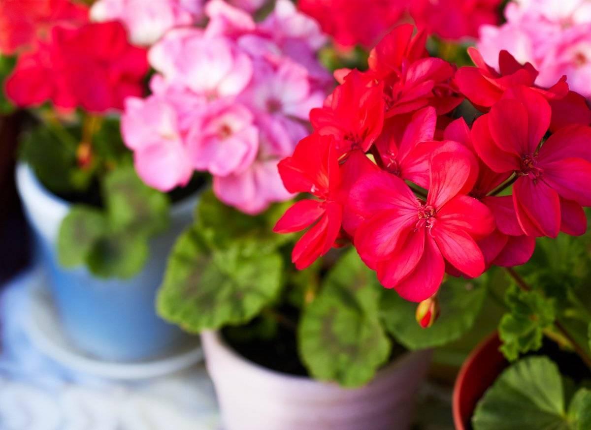 Пеларгония: правильное выращивание комнатного растения
