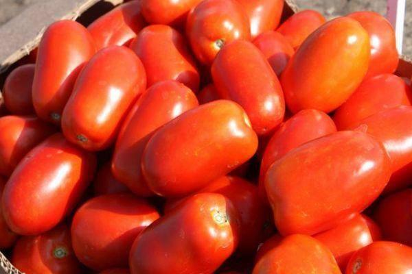 Томат верочка f1: раннеспелый сорт, отзывы о выращивании, фото, описание, достоинства и недостатки, урожайность, посадка и уход