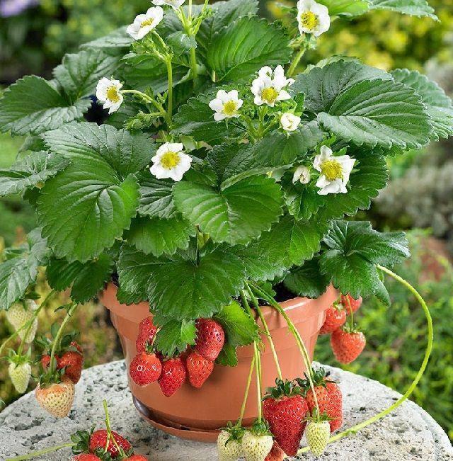 Ампельная или вьющаяся клубника: варианты выращивания, уход, фото
