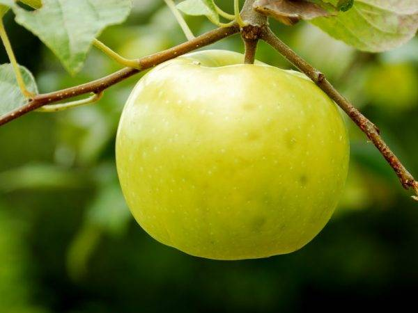 Карликовая яблоня братчуд: фото с описанием, отзывы, особенности сорта