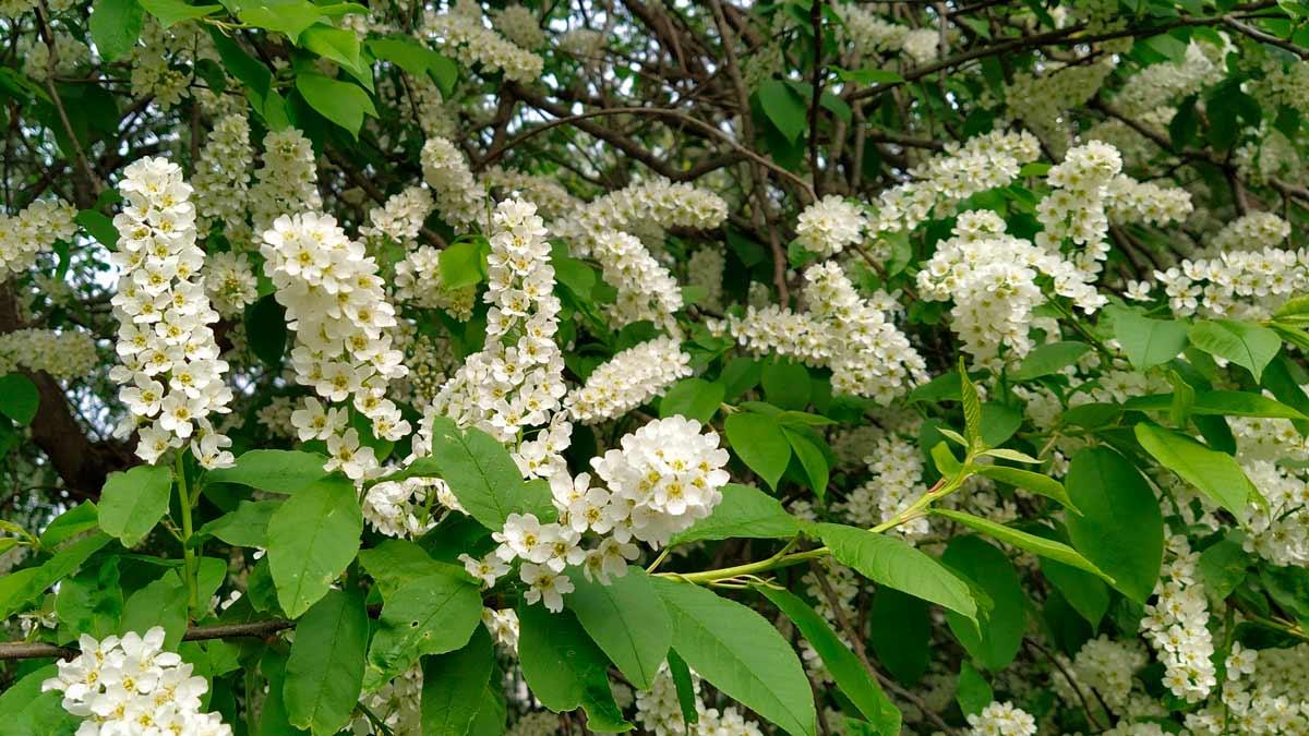 Дерево черемуха обыкновенная: фото и описание листьев, цветов и плодов, посадка и уход за растением