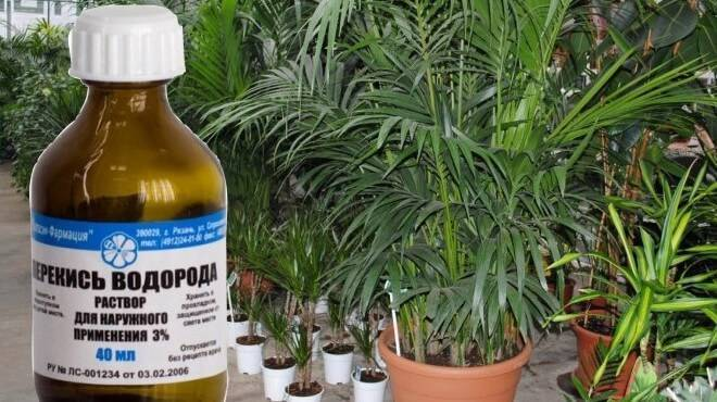 Перекись водорода для цветов - удобрение, как применять для полива