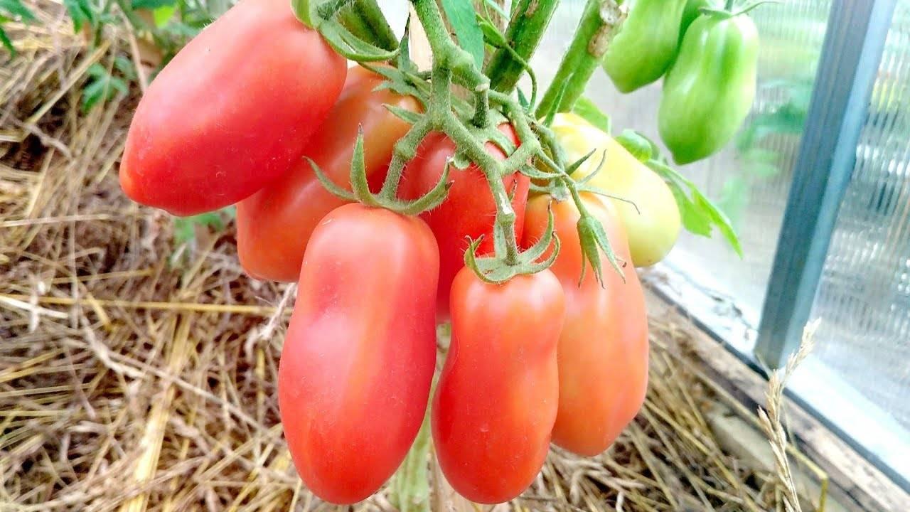 """Томат """"французский гроздевой"""" характеристика сорта, описание особенностей, фото и отзывы дачников"""