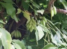 ✅ огуречное дерево фото и описание - питомник46.рф