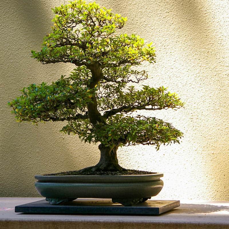 Дерево бонсай – что это такое, можно ли держать дома, какое дерево выбрать, правильный горшок и грунт
