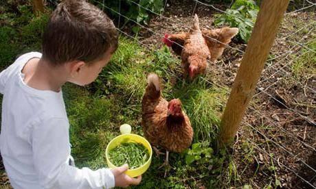 Минеральные добавки в корм для кур: что давать и как