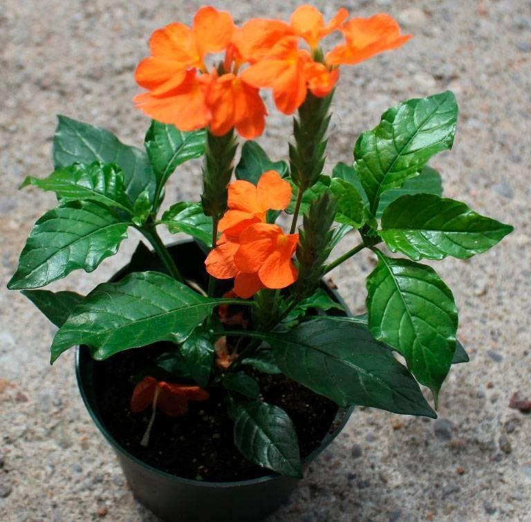 Кроссандра: уход в домашних условиях и размножение цветка