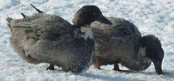 Самая крупная дикая утка крохаль – описание с фото