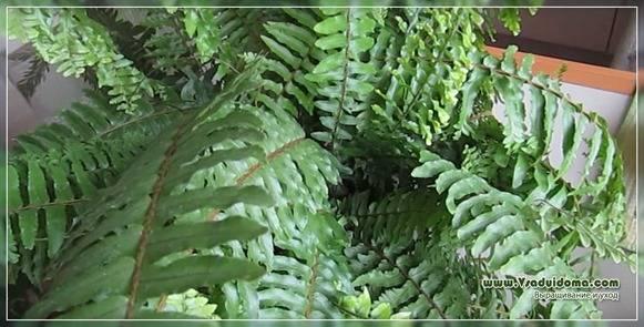 Комнатное растение адиантум: описание и фото видов цветка, уход за папоротником в домашних условиях