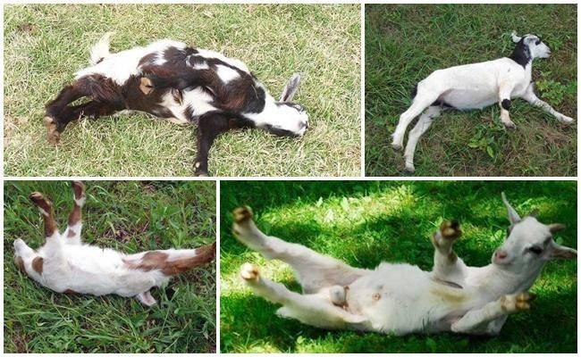 Описание породы обморочных (миотонических) коз
