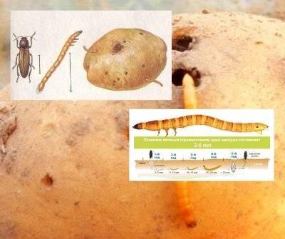 Чем обработать картофель перед посадкой и после от колорадского жука и проволочника
