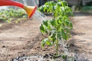 Нашатырь для помидоров: как и для чего использовать