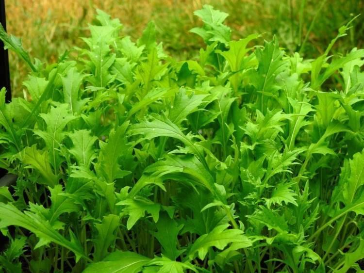 Выращивание японской капусты: обзор сортов, особенности ухода, полезные свойства