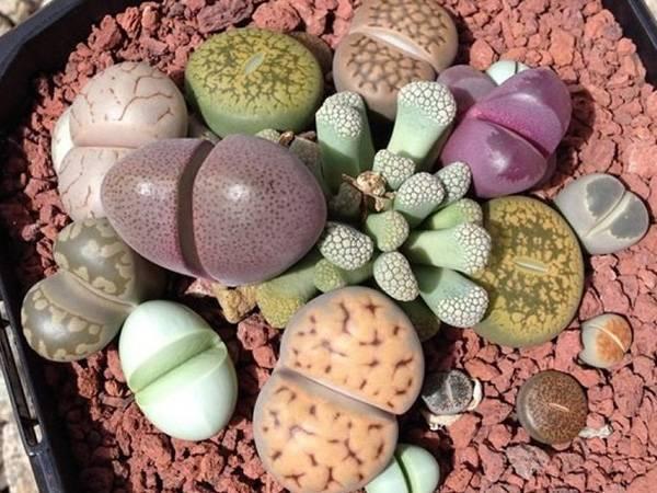 Литопсы: как вырастить живые камни из семян?