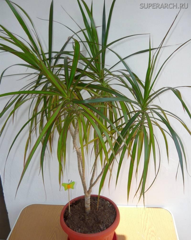Названия разновидностей домашней комнатной пальмы
