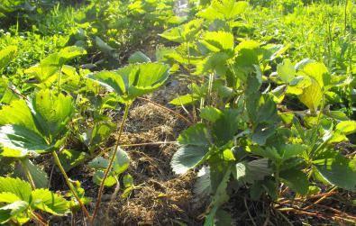 Как правильно посадить клубнику осенью: сроки, схемы, правила