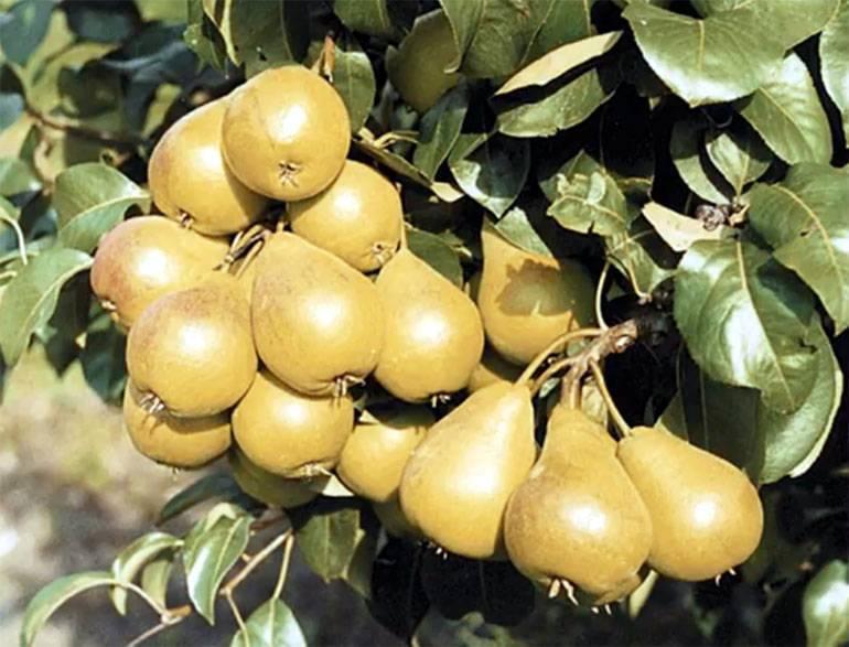 Груша лада: описание сорта, выращивание и уход