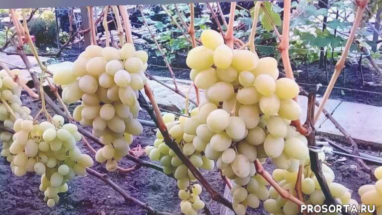 Сорта винограда красохиной с.и: описание, характеристики, история выведения, фото selo.guru — интернет портал о сельском хозяйстве