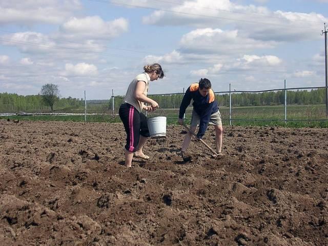 Посадка картофеля по методу галины кизима