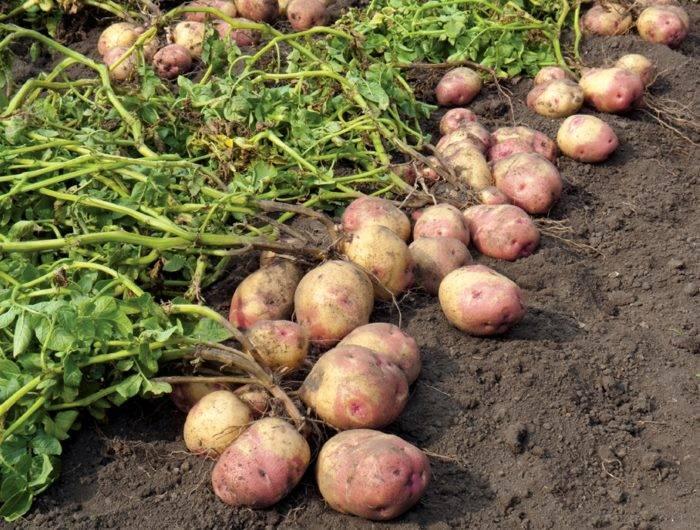 Почему картошка не цветет в этом году: будет ли урожай