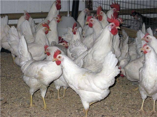 Русская белая порода кур: описание и характеристика исконно русских куриц