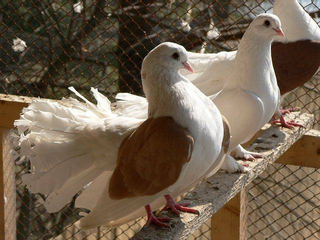 Как разводить голубей?