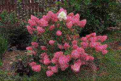 Величественное украшение сада: выращивание гортензии метельчатой вимс ред