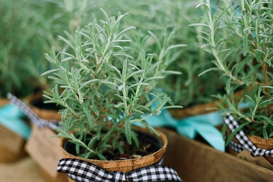 Розмарин: выращивание из семян в открытом грунте, уход в домашних условиях