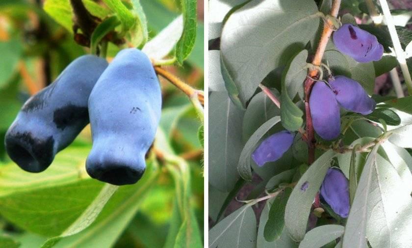 Жимолость - посадка и уход в открытом грунте, когда и как посадить осенью, обрезка - почва.нет