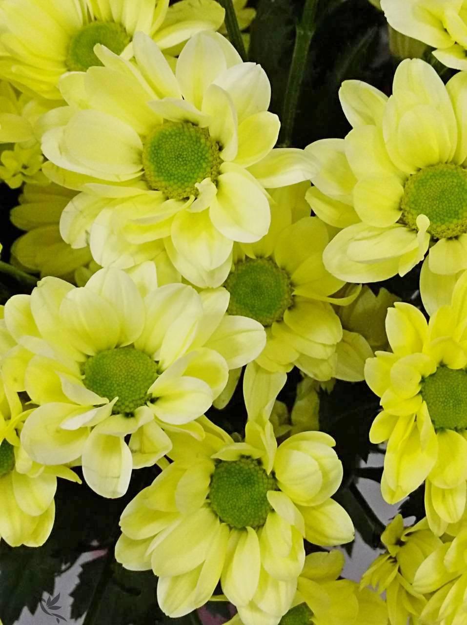 Описание и виды хризантемы бакарди, посадка и рекомендации по уходу
