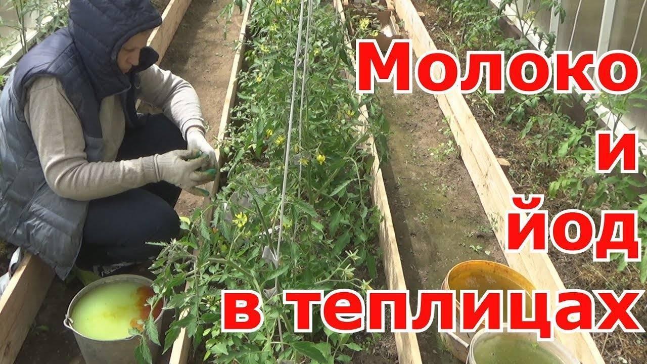 Фитофтороз, фитофтора помидоров и картофеля: как защитить и чем лечить