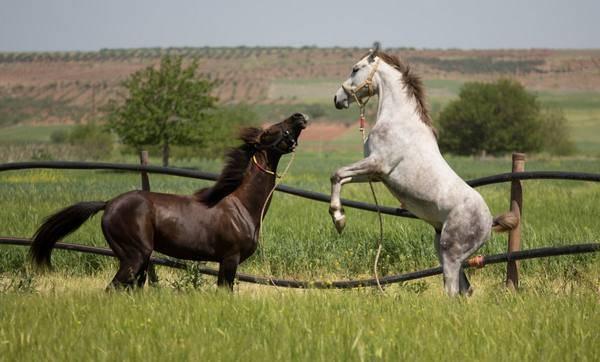 Каурая масть лошади.описание и фото масти   мои лошадки