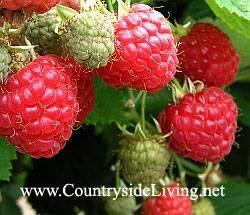 Малина ремонтантная: уход и выращивание, собственный опыт получения большого урожая