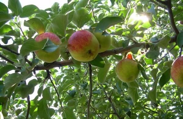 Почему не цветет и не плодоносит яблоня?