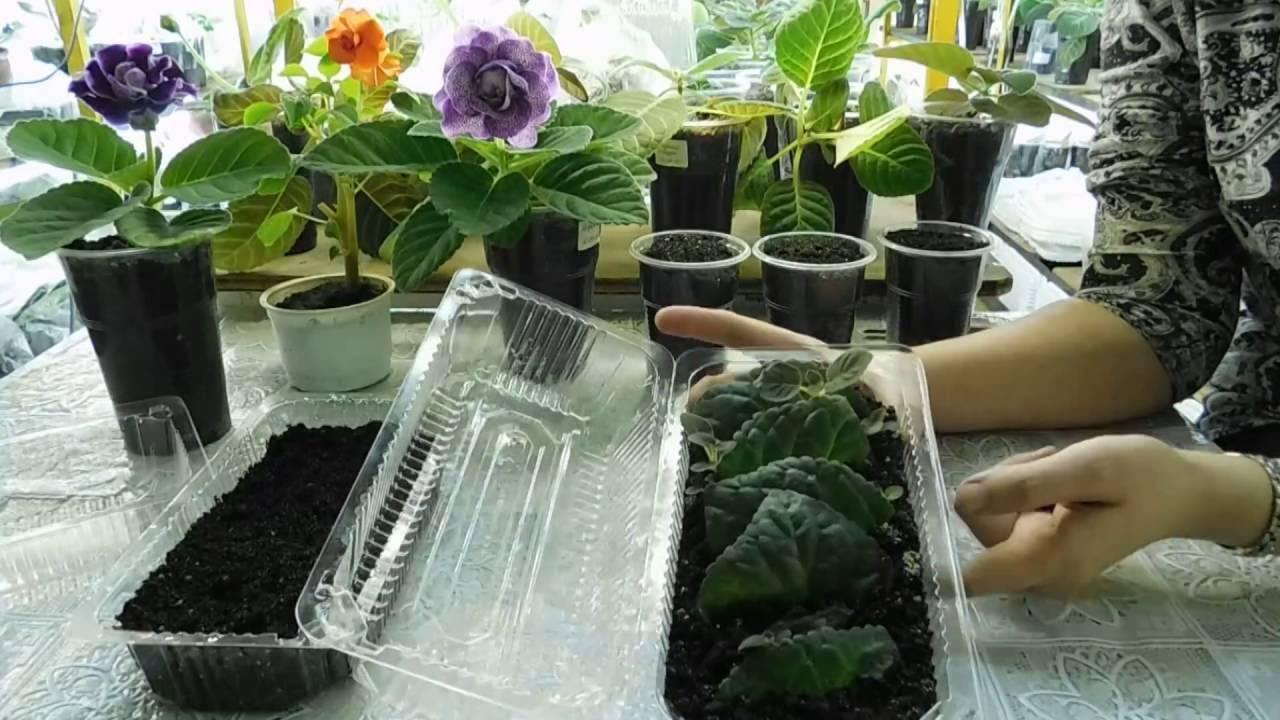 Глоксиния: размножение листом и его фрагментами, фото и пошаговый рецепт, как правильно вырастить в домашних условиях, в том числе и в водедача эксперт