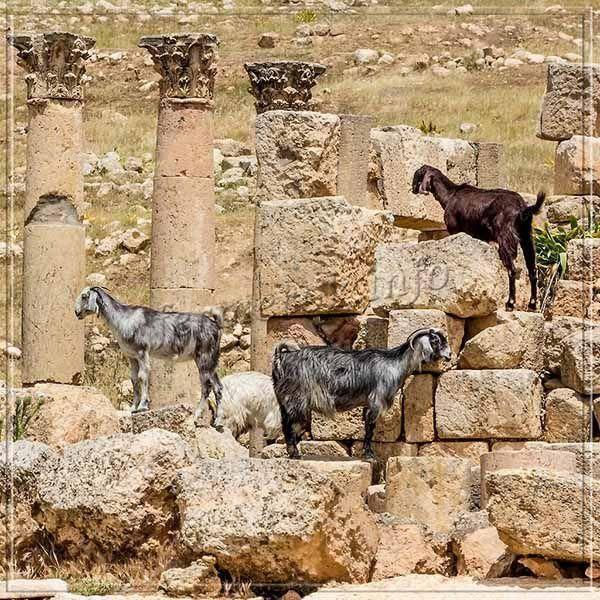 Нубийская порода коз - описание, фото и видео | россельхоз.рф