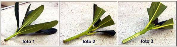Выращиваем рододендрон: размножение черенками, уход за саженцами
