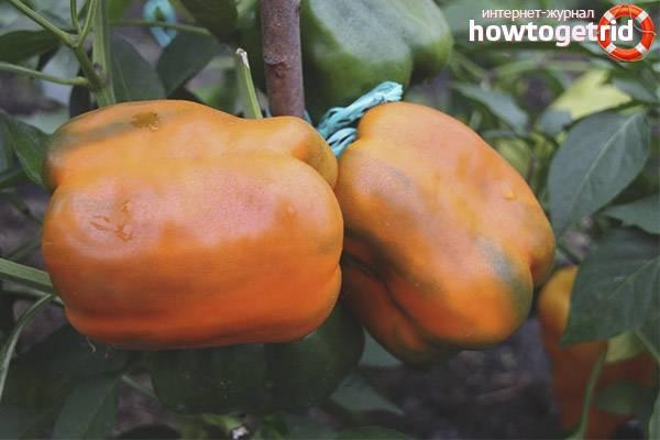 Урожайность и описание перца «биг бой»