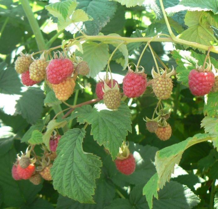 Как посадить и вырастить малину сорта «каскад делайт»
