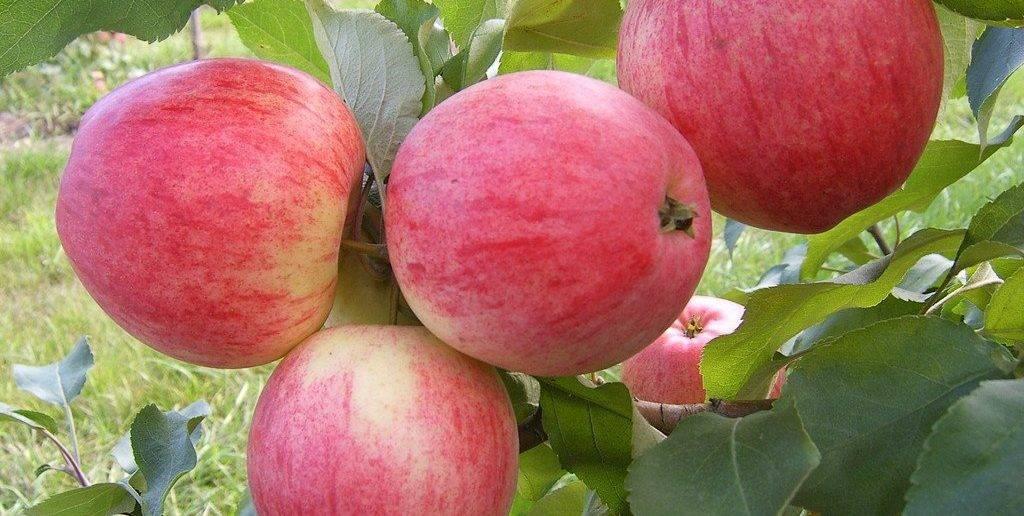 Яблоня уэлси: характеристика и описание зимнего сорта