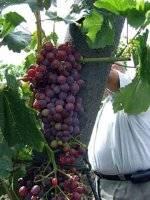 Новая селекция столового винограда — кишмиш аксайский