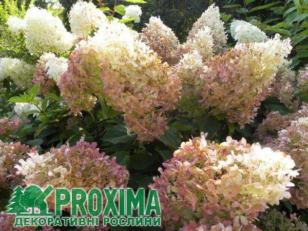 Гортензия «диамантино»: описание, рекомендации по выращиванию и размножению