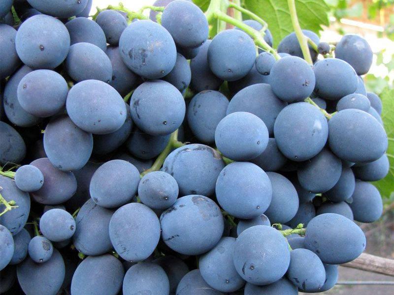 Виноград дружба: описание и характеристики сорта, выращивание и уход с фото