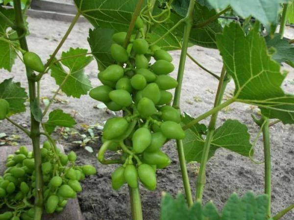 Описание и история создания винограда сорта надежда азос, уход и особенности посадки