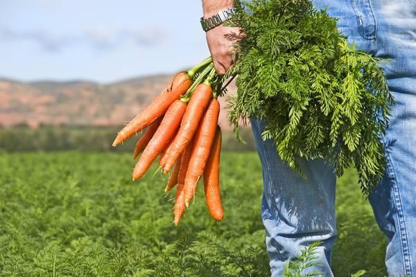 Обработка моркови керосином поможет избавиться от сорняков