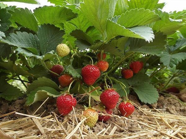 Характеристика и описание клубники «азия», как и когда выращивать